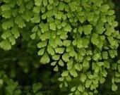 Maidenhair Fern botanical print, macro photography, green and black, home decor