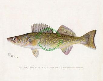 Vintage fish print digital download: Wall-Eyed Pike, by S. F. Denton, 1903