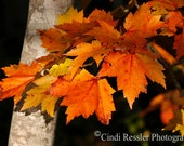 Fall Maple Leaves, 5x7 Fine Art Photography, Nature Photography - CindiRessler