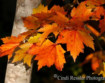 Fall Maple Leaves, Fine Art Photography, Nature Photography