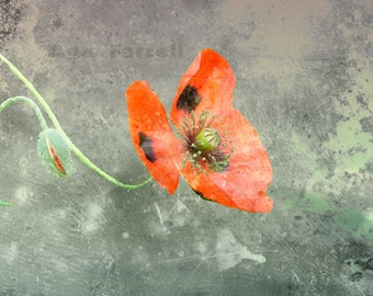 Flower Wall Art, Red Poppy, Large Wall Art, Nature Photography, Flower Wall Decor, Opium Poppy, Persimmon, Timberwolf Grey, Olive Green