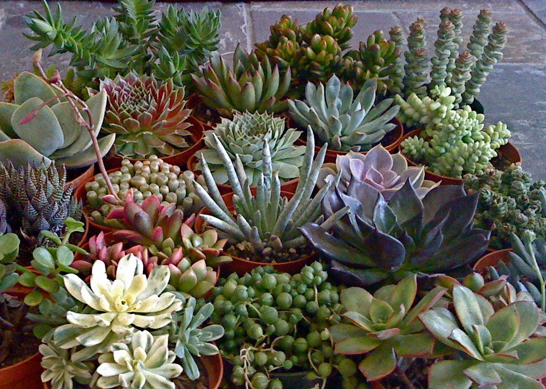 Large 4 Succulent Plants Quality Succulent Plant
