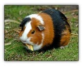 Reserve stoneware, pottery.Guinea pig home made for order