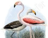FLAMINGOS Instant Download Digital Download BIRDS Large Digital Image, natural history clipart illustration 116