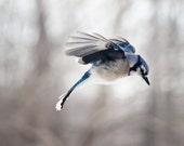 Bird Photography: The Art of Staying Aloft No 8 Blue Jay (Cyanocitta cristata)