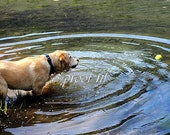 Yellow Lab in the Pond Photograph