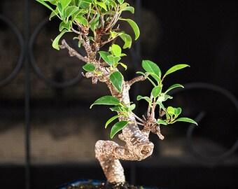 Live Golden Gate Ficus Bonsai Tree - Free Shipping - Nice Gift