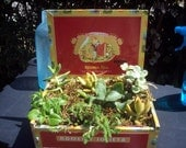 Romeo and Juliette Red Cigar Box Planted With Succulents
