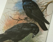 Vintage Bird Book Plate Page of Rook & Carrion Crow printed 1965 Illustration