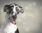 Harlequin Great Dane, fine art photography, 8x10, home decor,