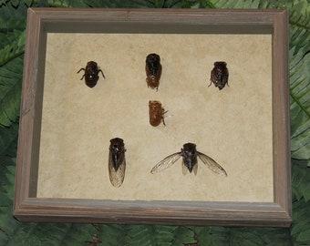 Cicada Life Cycle 2