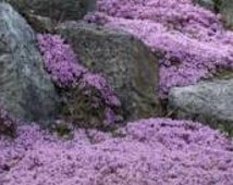 BULK 500 Seeds, Lavender Creeping Thyme, Walk on Me, Perennial Flower Seeds, Lemon Scent