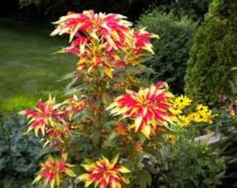 Heirloom Amaranth Joseph's Coat Seeds, Gorgeous Flower, 20 Seeds