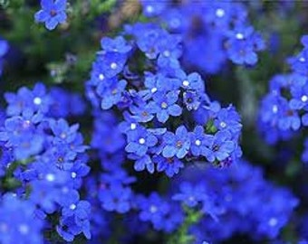 Old Fashioned Forget Me Not Bluebird, Perennial Flower Seeds, Attracts Butterflies, 25 Seeds