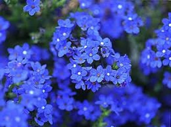 forget me not bluebird seeds old fashioned flower perennial. Black Bedroom Furniture Sets. Home Design Ideas