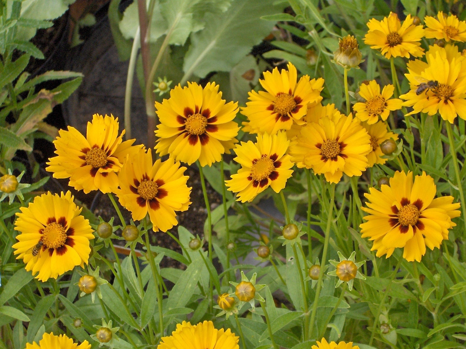 Yellow Coreopsis Perennial Flower Seeds Attracts by CheapSeeds
