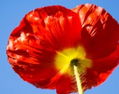 Red Poppy and Sky 10x10 Fine Art Photography Print - charitykittler