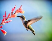 "Hummingbird Photo Print, Nature Photography, 8x10 Photograph Print, ""Nectar of the Red Cactus"" - EyeLightPhotography"