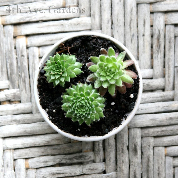 Marlene - An Elaborate Succulent Collection In One-of-a-Kind Mini Hand Thrown Planter