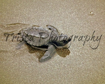 Newly hatched baby turtle print