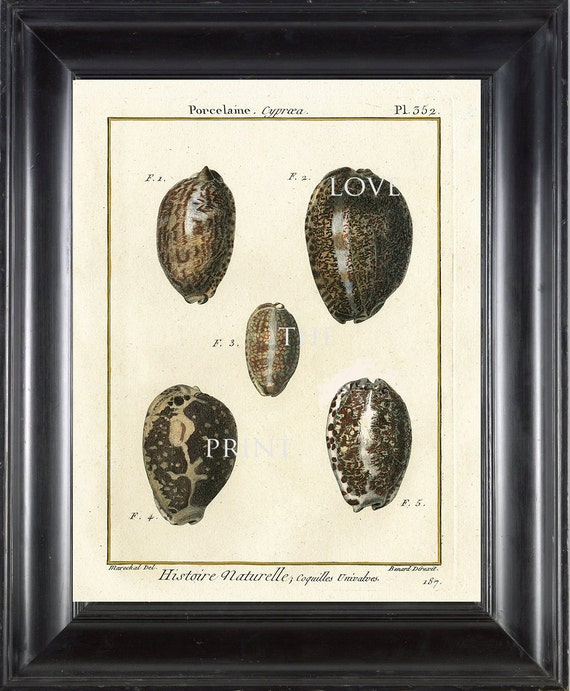 SHELL PRINT LAMARCK  Art Print 5 Beautiful Antique Porcelaine Shells Sea Ocean Nature to Frame Home Decoration Wall Hanging