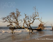 Bone Yard Beach at Botany Bay on Edisto Island South Carolina1 (PR) (16 x 20 canvas)