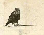 Crow Study - Fine Art Print from Original Drawing