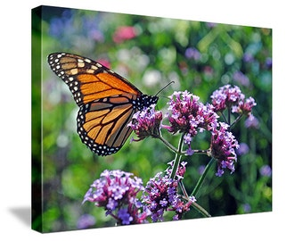 "8"" x 10"" Canvas Wrap. ""Butterfly on Blue Flower"".   Ships Free (USA Only)"