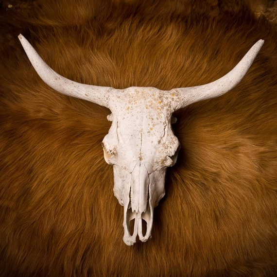 Amazing scottish highlander skull.