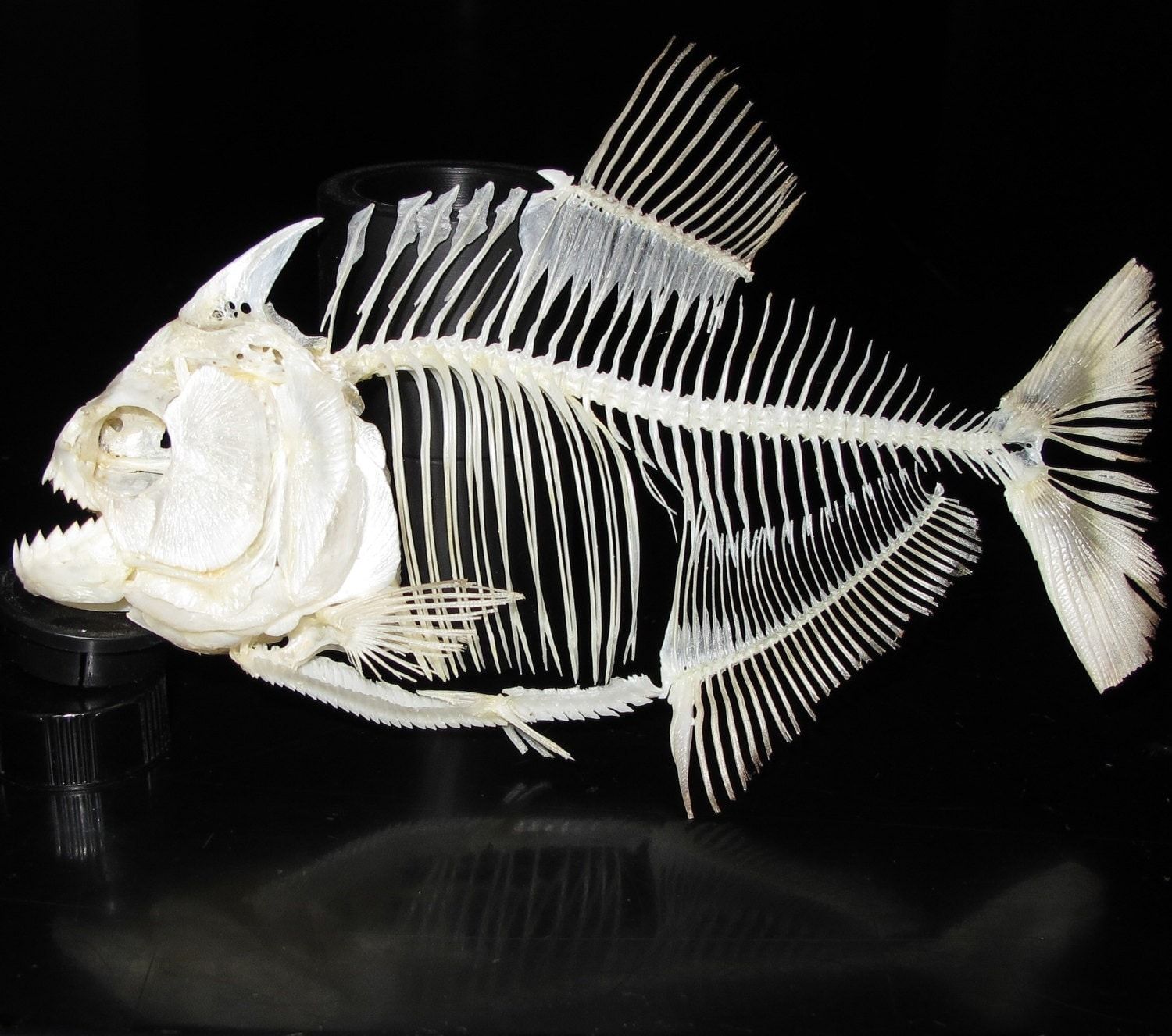 Queen Triggerfish Teeth Piranha skeleton by Th...