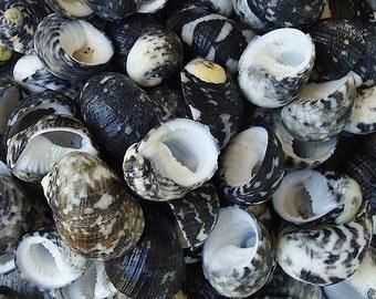 Black Moon Seashells (appx. 100 pcs.) - Nerita Peloronta