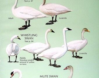 Trumpeter Swan, Whistling Swan, Mute Swan, White Fronted Goose, Tule Goose, Lesser Snow Goose 1980 Vintage Birds Print 2 Sided
