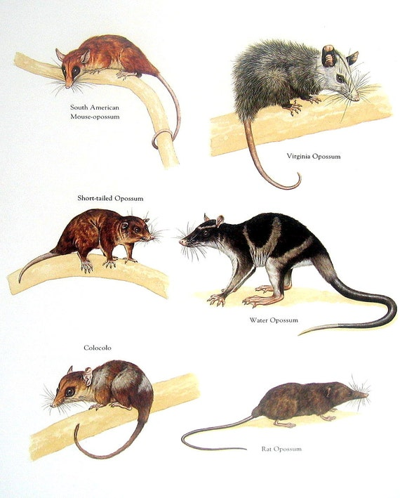 Items Similar To Opossum Print South American Mouse
