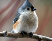 Tufted Titmouse with Snowflake