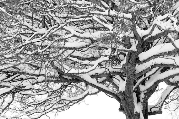 Snow Covered Tree after a Winter Snowstorm in Grand Rapids Michigan No.96 A Black and White Fine Art Nature Landscape Photograph