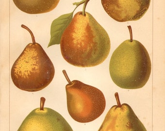 1889 Pear Types, Rote Bergamotte, Butterbirne, Winter Pear etc. Original Antique Chromolithograph to Frame