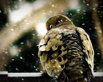 Bird Photography, mourning dove photograph,winter,snow,brown,spotted,peaceful,snow storm,home decor,gifts under 25,peaceful,zen,dove,love