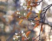 "Flower Photography, White Blossoms 9"" X 12"" Spring Blossom Print, White Tree Blossoms, Juneberry Tree Print, Nature"
