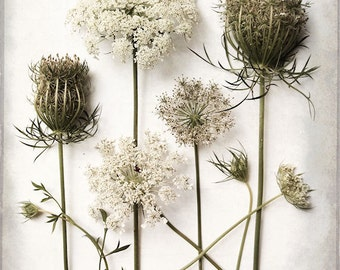 Queen Anne's Lace, Fine Art Photography, Botanical Print, White Wildflower, Country Flowers, Flower Study, Flower Collection