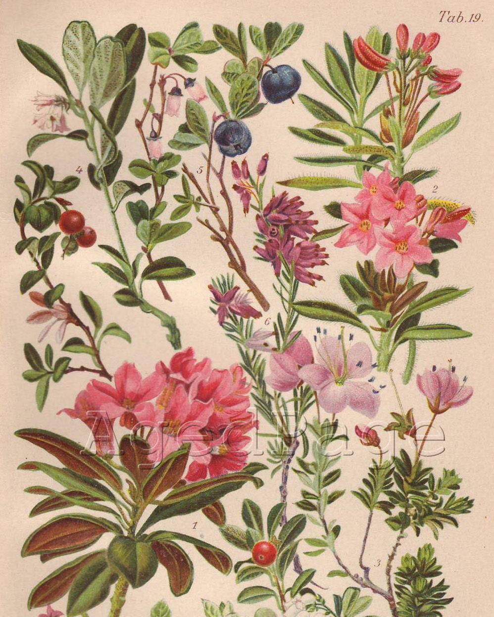 Vintage Botanical Print Antique Flower Chart Nature By
