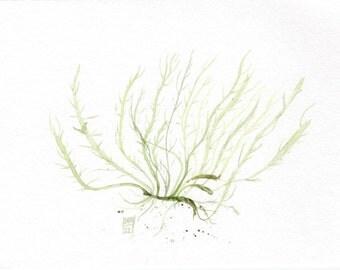 Original watercolor illustration of a Green seaweed