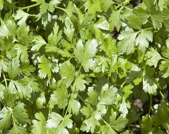 Slow Bolt Cilantro Heirloom Herb Seeds Coriander Non GMO Clearance Sale