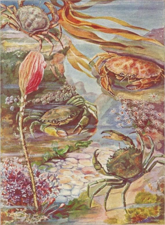 Maine Crabs and Sea Plants 1930s Sea Life Print Else Bostelmann Art, Vintage Original Wall Decor