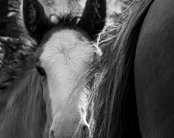 Horse photo, baby animal photo, nursery decor, animal photograph, clydesdale foal