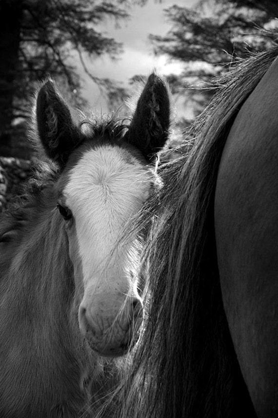 Horse photo, baby animal photo, nursery decor, animal photograph, clydesdale foal