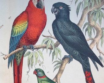 Antique Print of Parrots - Shrikes - 1889 Large Chromolithograph