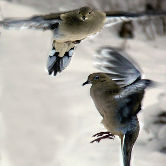 Mourning Dove Photography Bird, gray,blue,white,Gifts under 25,nature lovers,bird,mourning dove,couple,pair of doves,ethereal,in flight