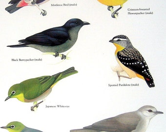 Bird Print -  Mistletoe Bird, Japanese White Eye, Black Berrypecker, Spotted Pardalote - Vintage 1984 Book Page