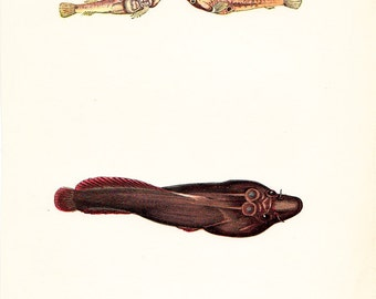1865 Victorian FISH print, Cornish sucker, nice fine antique chromolithograph
