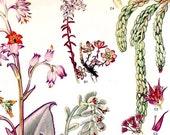 Sedums & Flowering Succulents North American Botanical Exotica 1969 Large Vintage Illustration To Frame 157